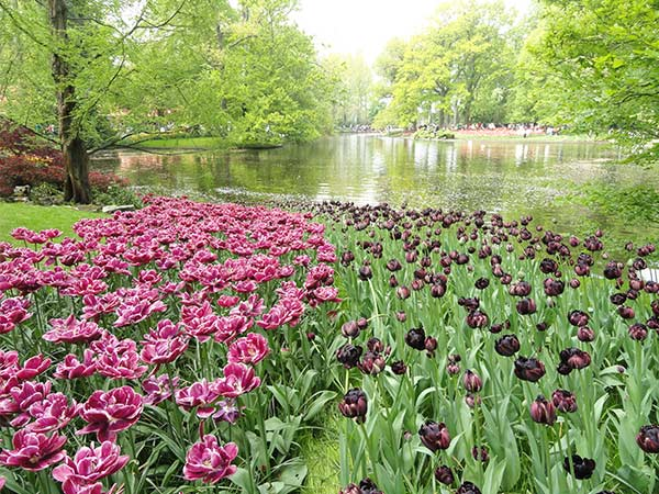 Pink and purple tulips in Keukenhof Park