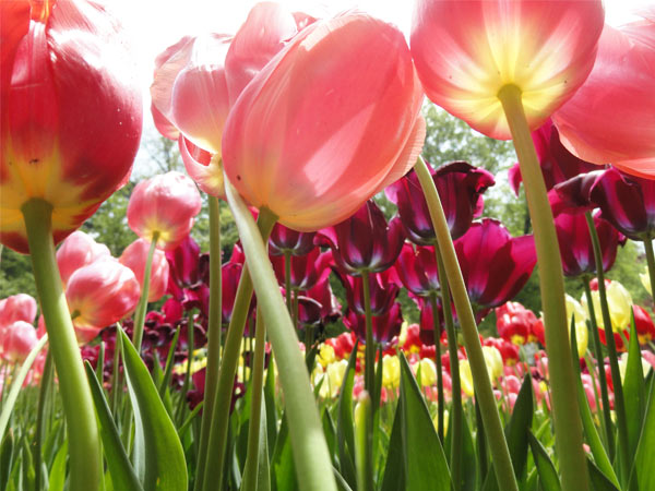 Tulips up close at Keukenhof Park