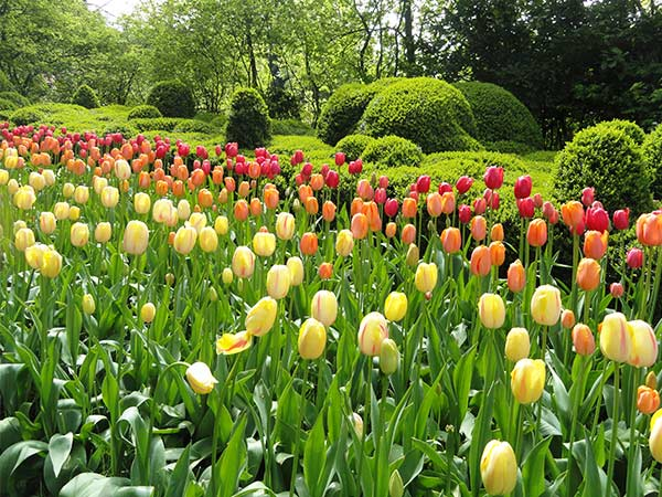 Rows of tulips in Keukenhof Park
