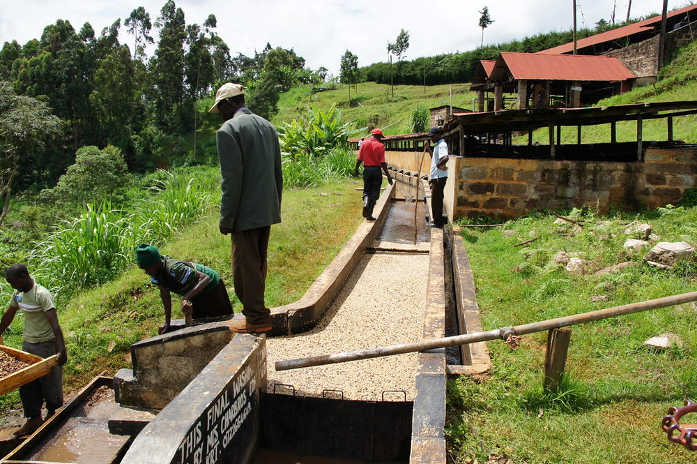 Coffees are constantly pushed through the washing channels to remove mucilage and floaters