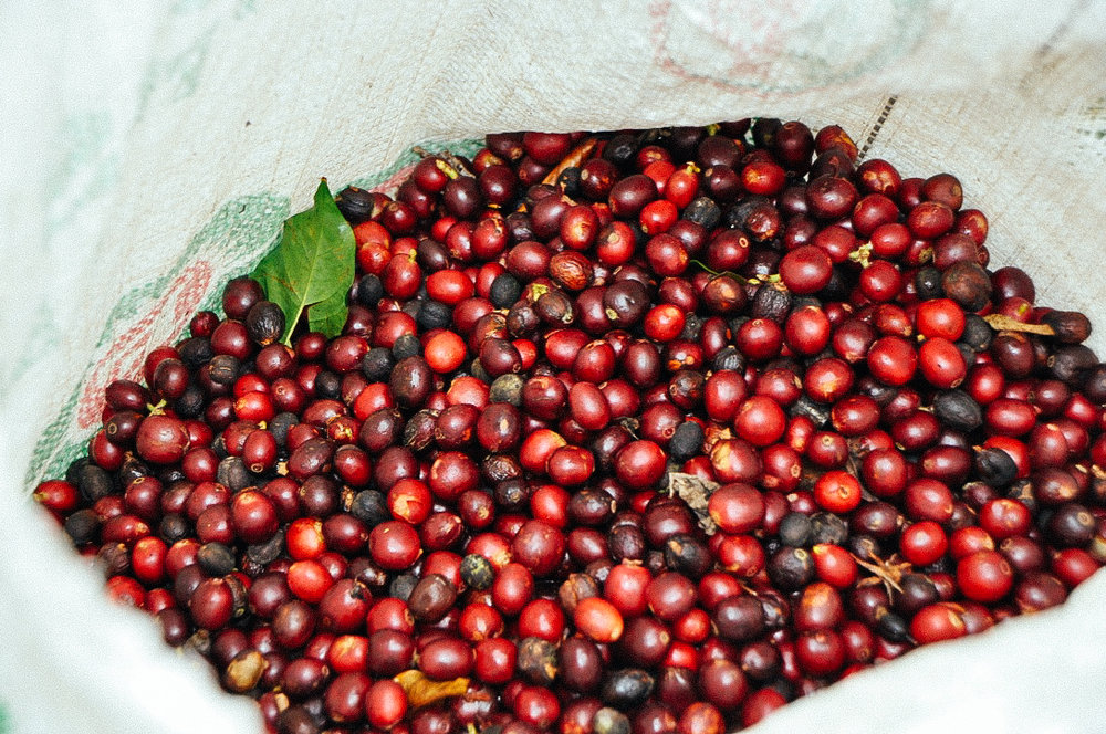 - Coffee cherries are picked based on the sugar concentration within the fruits.