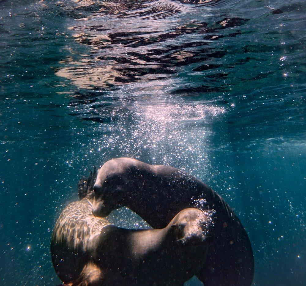 Lobos marinos en la isla del espíritu santo