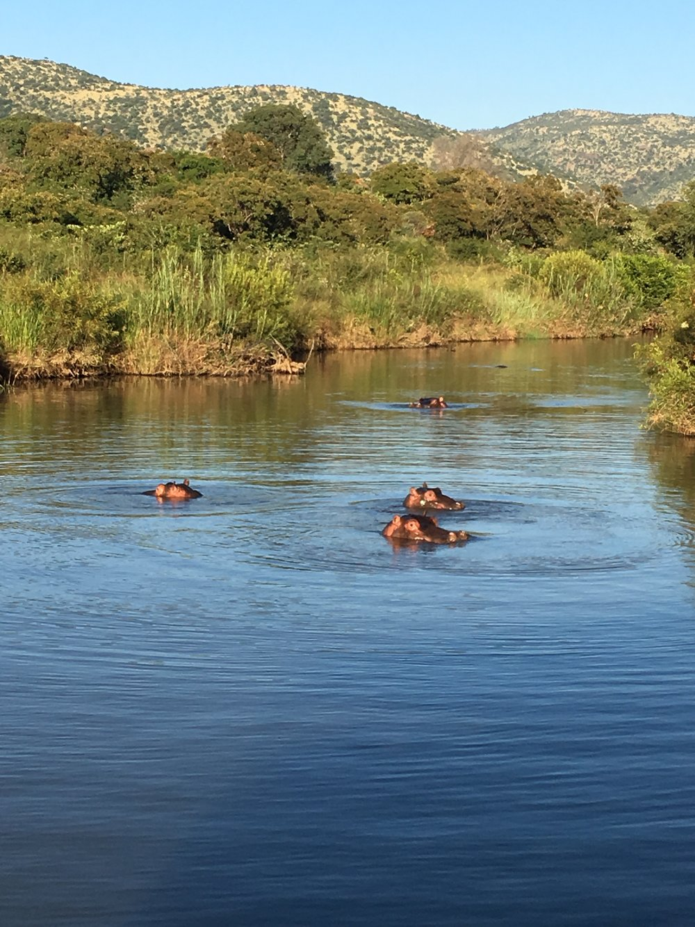 Hippos swimming close to our safari car out of curiosity.JPG