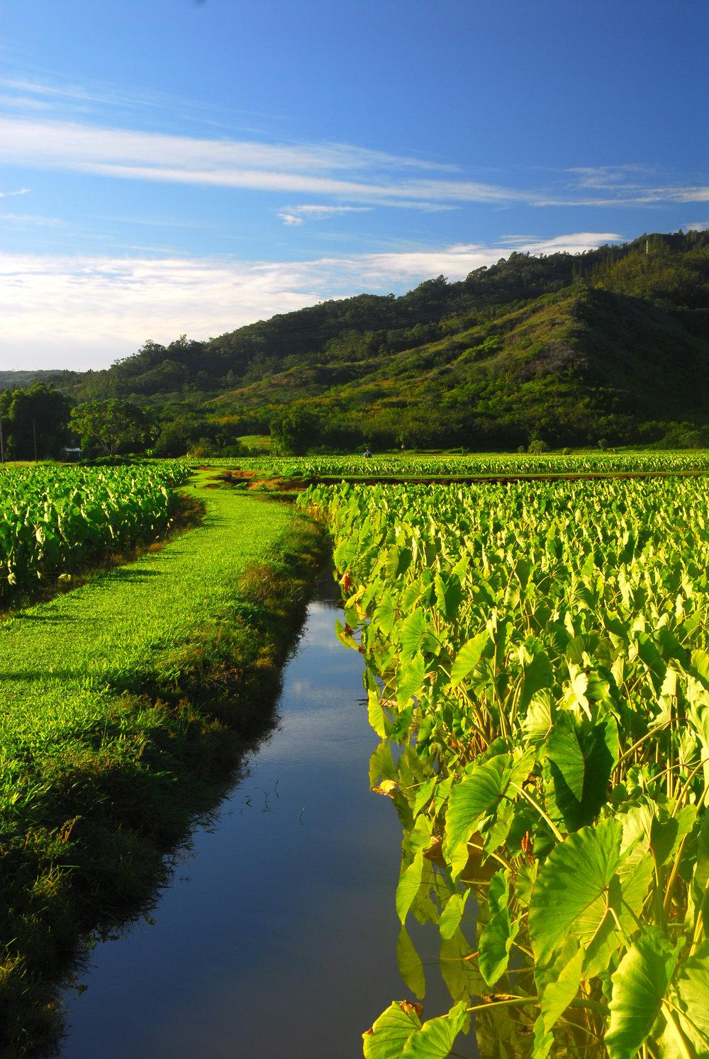 Taro field in Hawaii