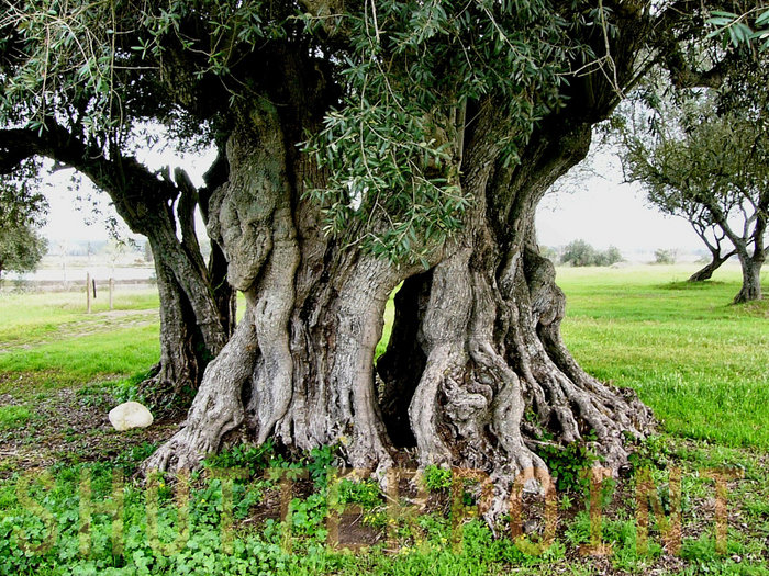 ancient-olive-tree.jpg