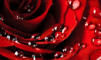 Scattered rose petals - $22 -