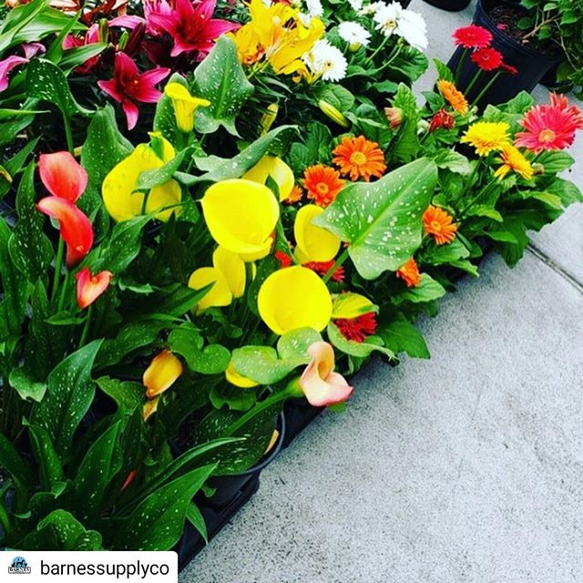 #Repost @barnessupplyco • • • • • Spring 🌸🐣 is in the air and these gorgeous flowers 💐🌼🌷and plants will add that perfect pop to your yard!  Hurry in to grab yours before they're gone. Healthy and colorful! #barnessupplycompany #discover9thstreet #shoplocaldurham #easter #flowers #plants #9thstreet