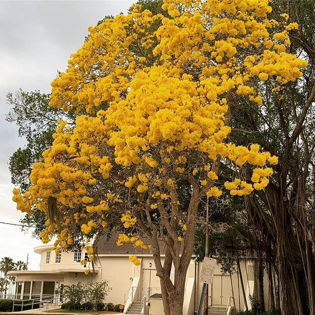 Like Big Bird💛💛💛#treeotd #treetyoself