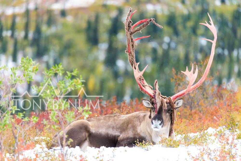 tony-bynum-caribou-velvet-pealing