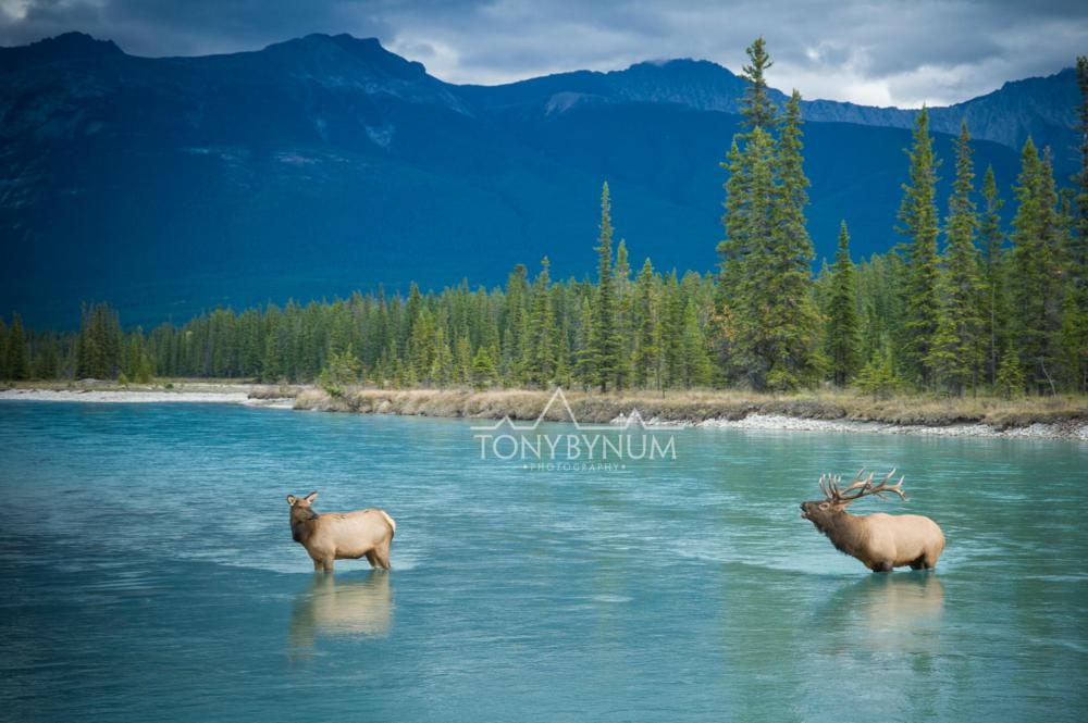 tony-bynum-elk-banff