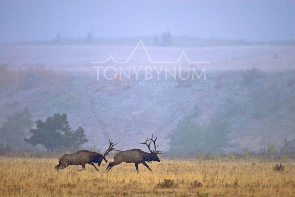 tony-bynum-fighting-elk