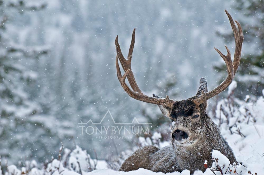 tony-bynum-mule-deer