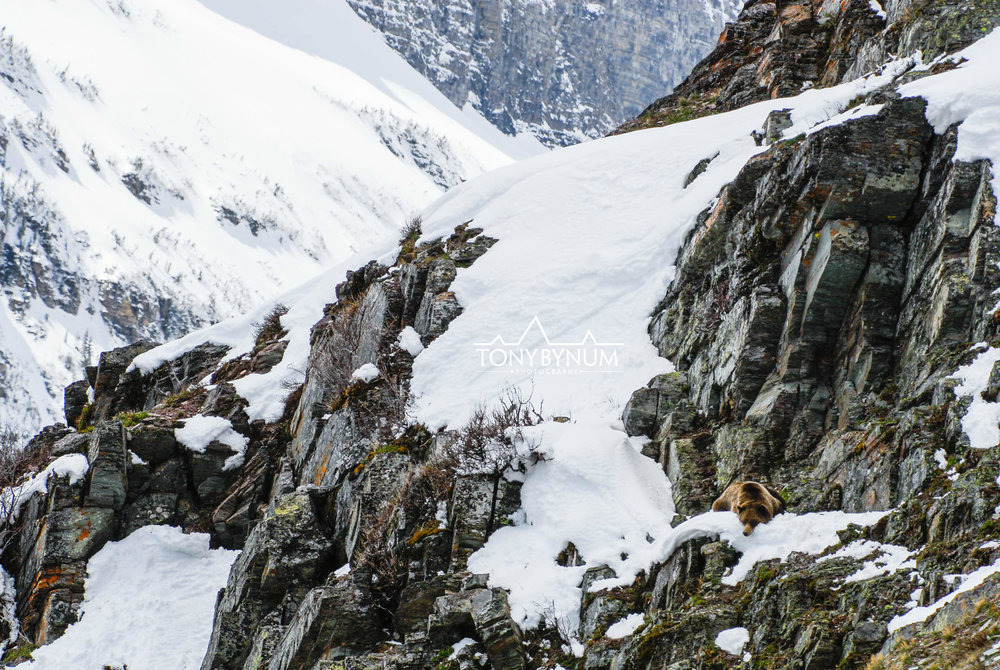 grizzly bear on a cliff face in the snow