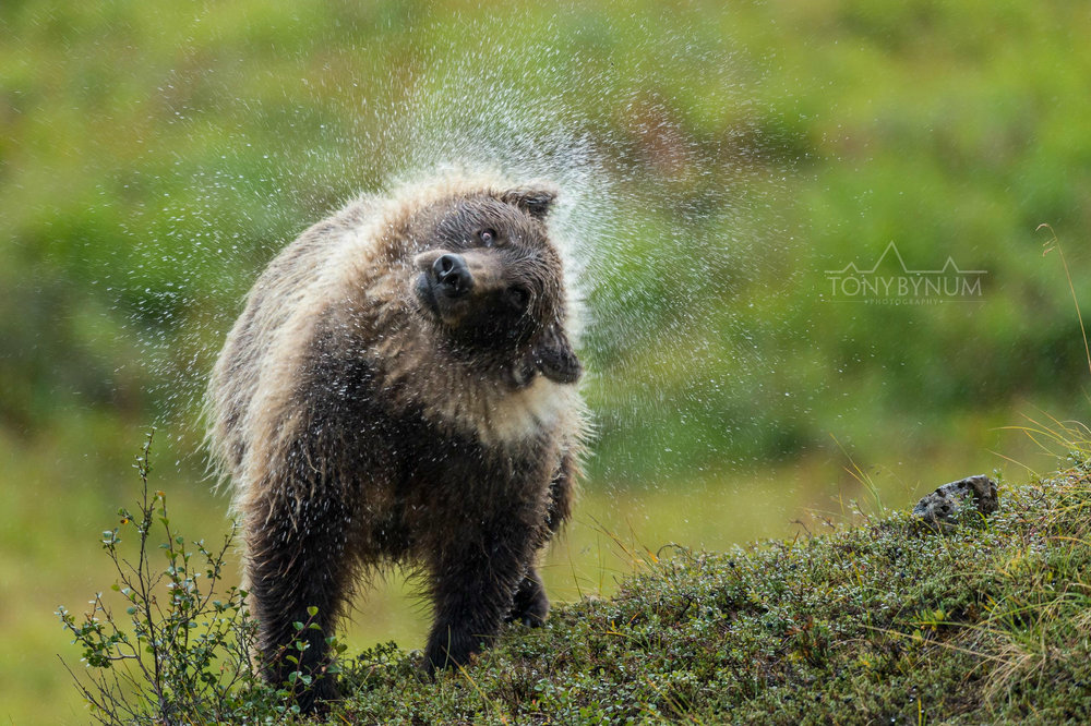 grizzly-bear-bynum-2951.jpg