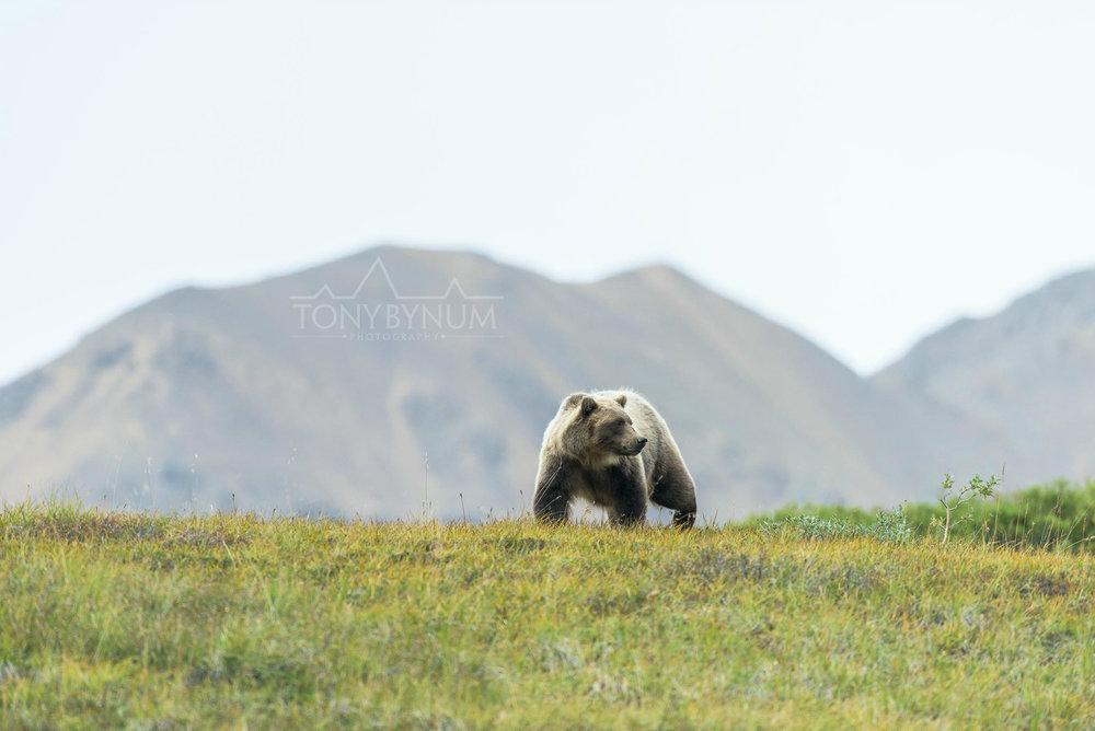 grizzly-bear-bynum-1366.jpg