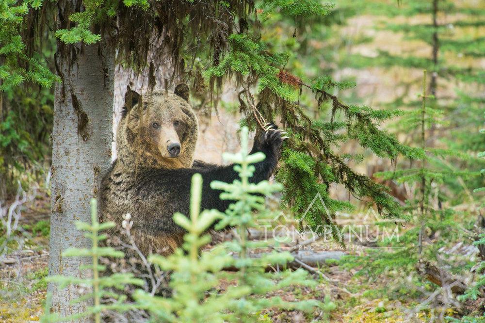 grizzly-bear-bynum-3913.jpg
