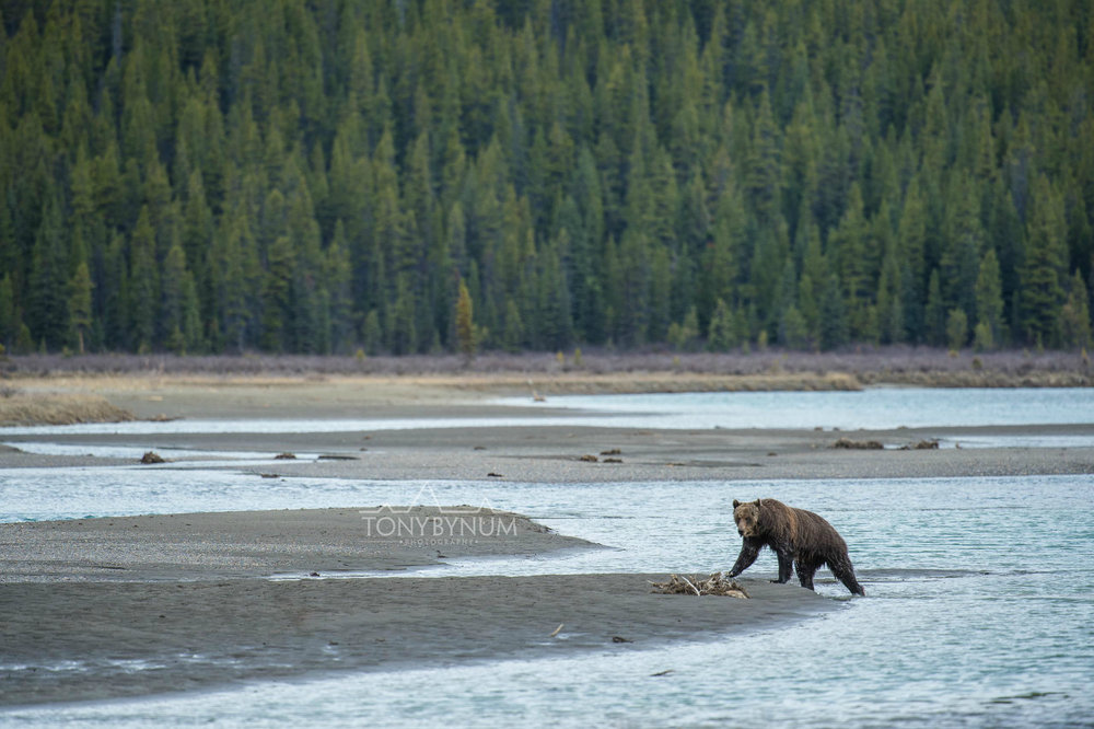 grizzly-bear-bynum-9296.jpg