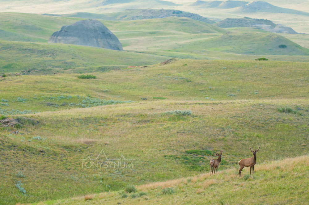 Elk on the Montana Prairie