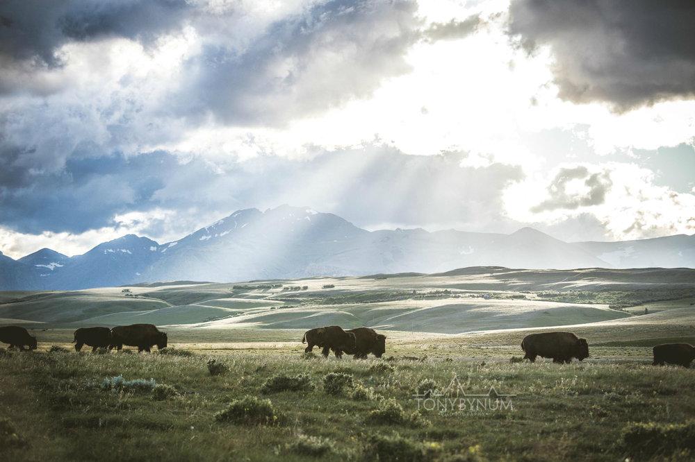 buffalo-bison-bynum-2287.jpg