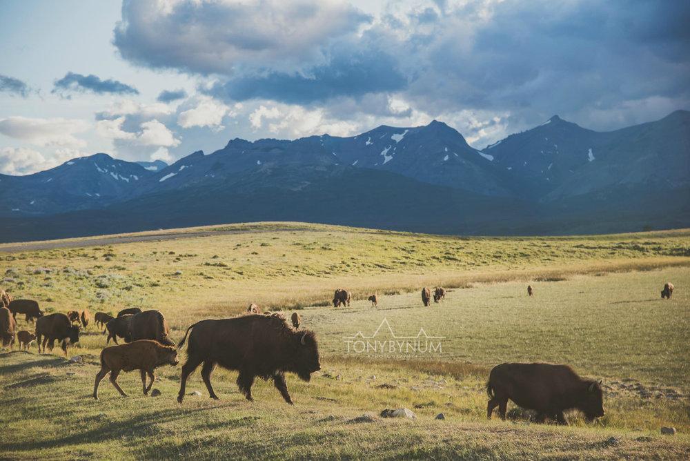 buffalo-bison-bynum-1915.jpg