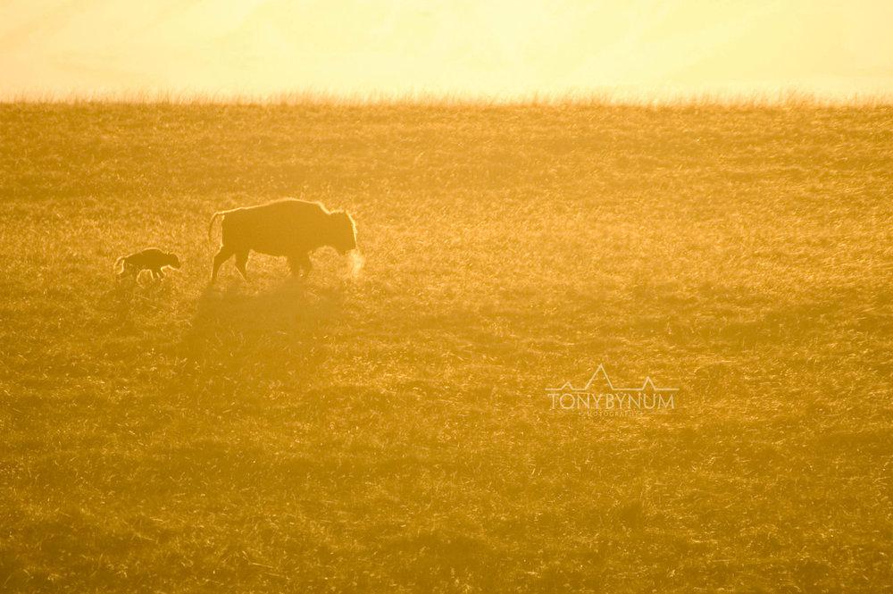 buffalo-bison-bynum-.jpg