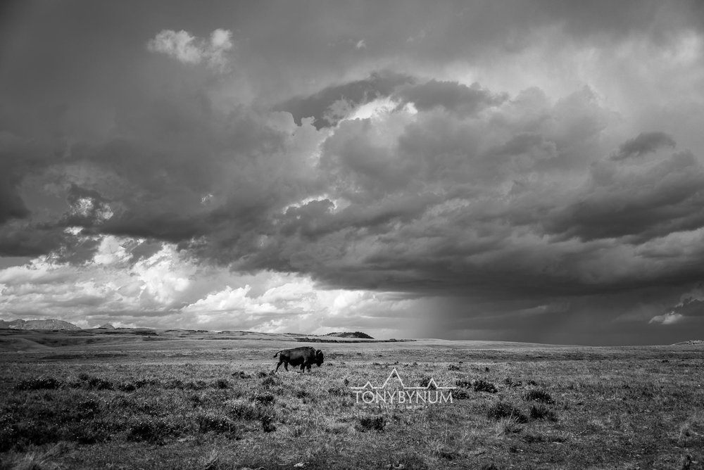 buffalo-bison-bynum-2390.jpg