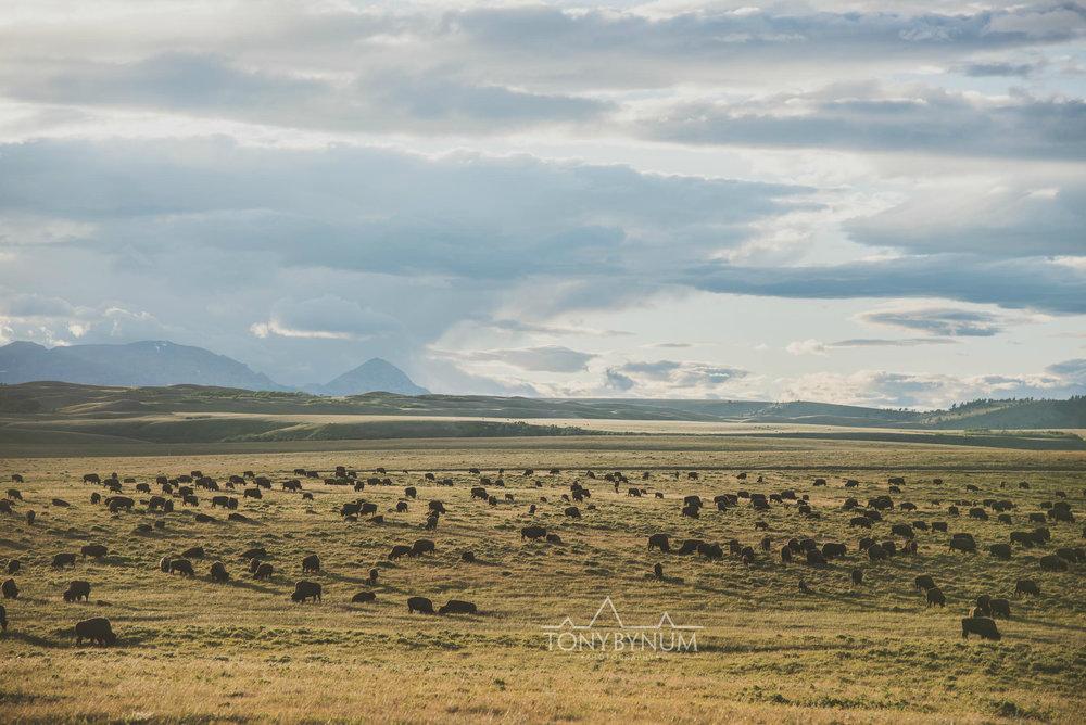 buffalo-bison-bynum-2181.jpg