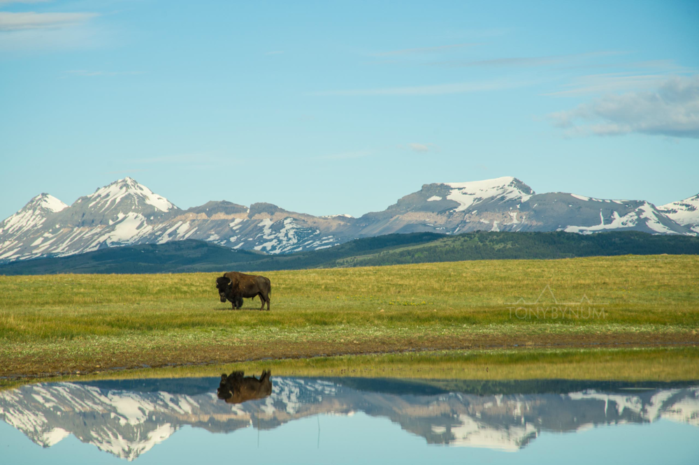 buffalo-bison-bynum-0486.png