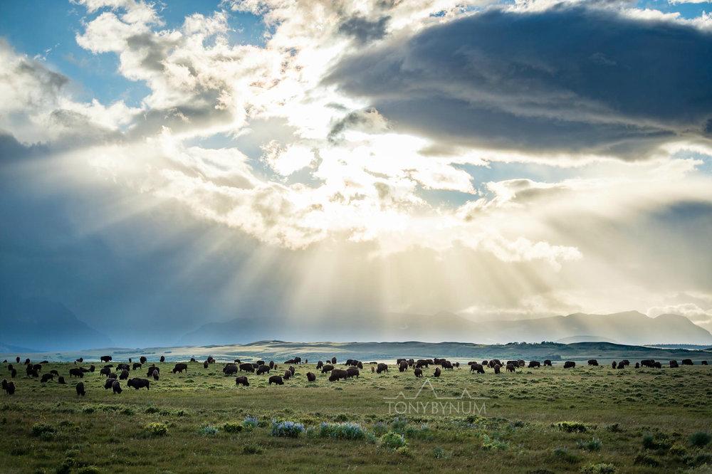 buffalo-bison-bynum-2856.jpg