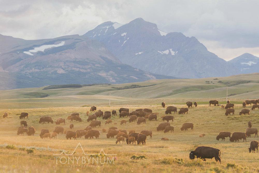 buffalo-bison-bynum-2678.jpg