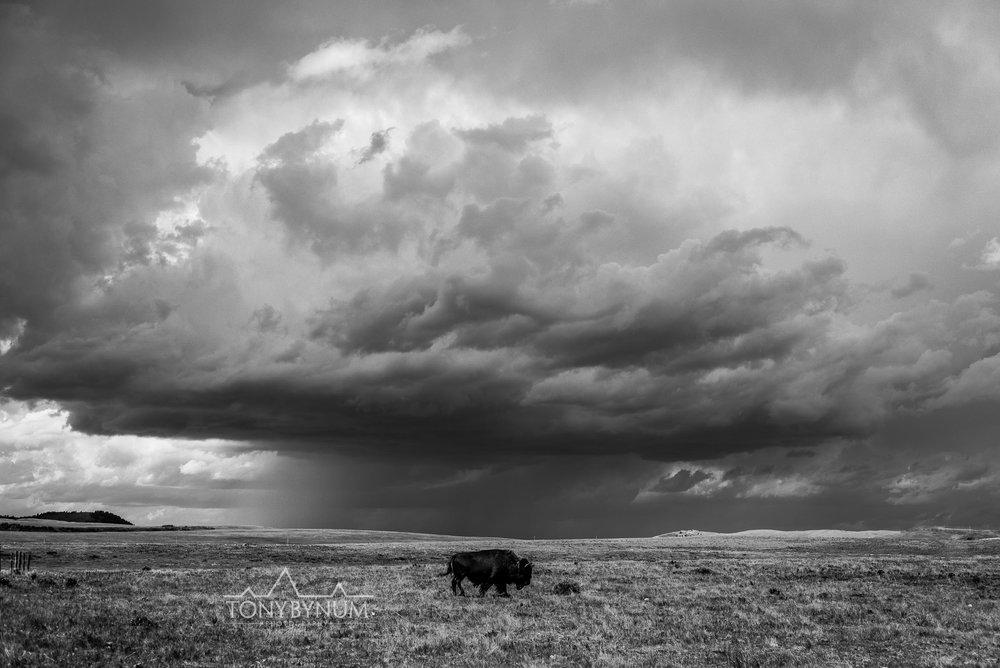 buffalo-bison-bynum-2416.jpg