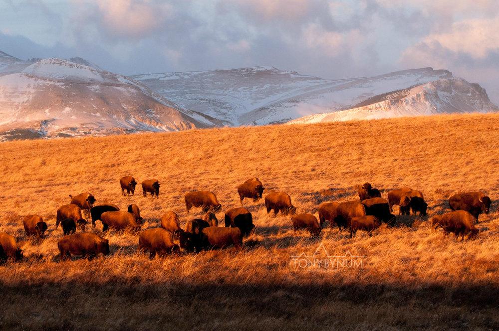 buffalo-bison-bynum-4057.jpg