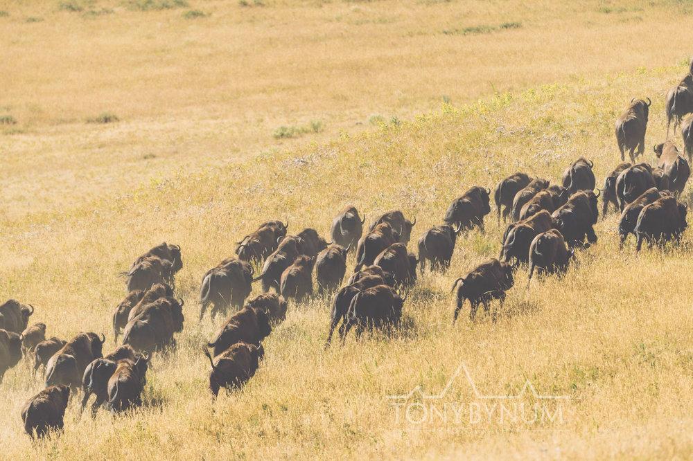 buffalo-bison-bynum-5821.jpg