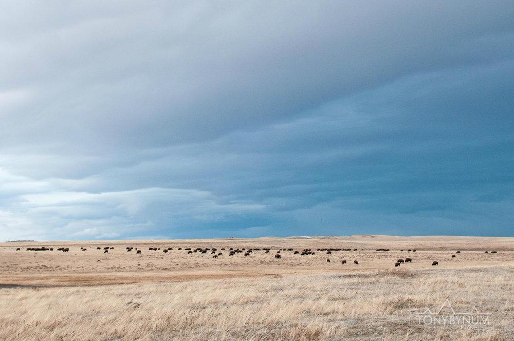 buffalo-bison-bynum-6322.jpg