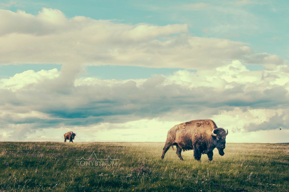 buffalo-bison-bynum-3002.jpg