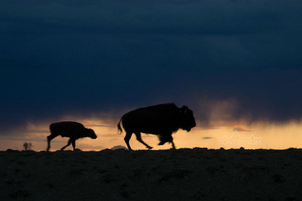buffalo-bison-bynum-1835.jpg