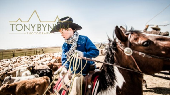 A young cowboy ropes his first calf in Montana
