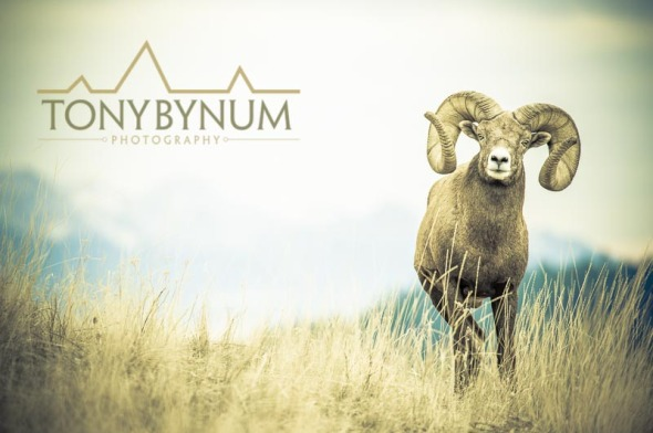 Bighorn ram in meadow with mountain backdrop