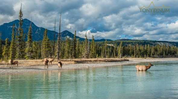 Herd of elk with bull near river