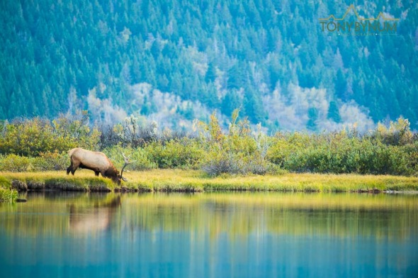 Bull elk drinking from river