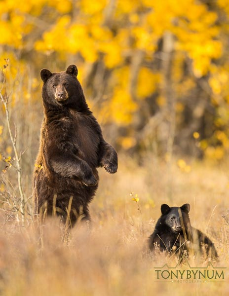 Black bear sow and cub in fall grass and trees