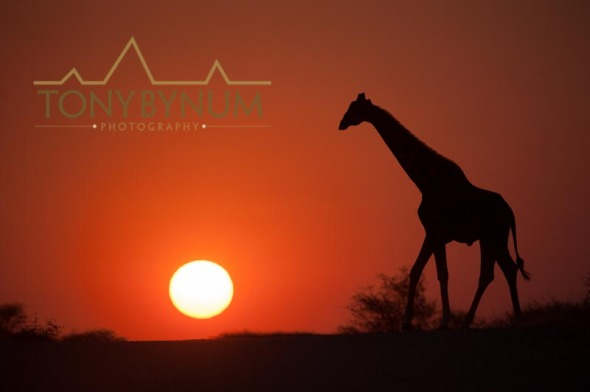 Giraffe walking in front of the rising sun, namibia, africa