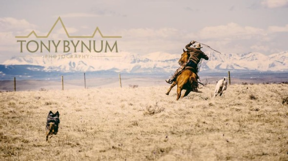 Cowboy on horse back, roping a running calf on the grasslands of Montana, USA