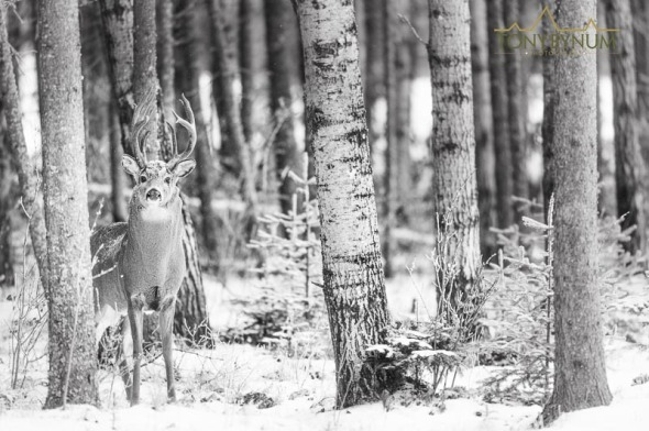 Mature whitetail buck in forest