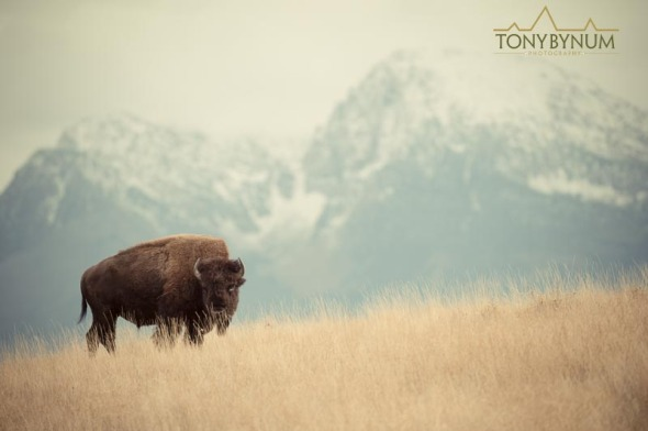 Bull bison in meadow against a mountain background