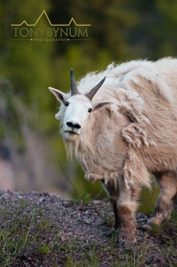 mountain goat photographed in late spring Notice the hair falling out - not a very useful image and far less attractive than the one on the cover of Sports Afield Magazine.