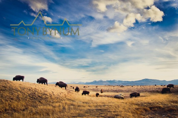 buffalo on the Blackfeet Reservation