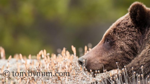 Grizzly Bear Boar Resting