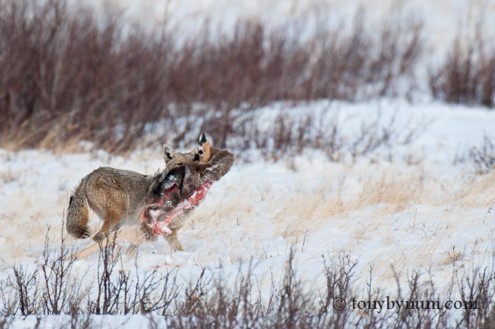 coyote packing a mule deer carcass