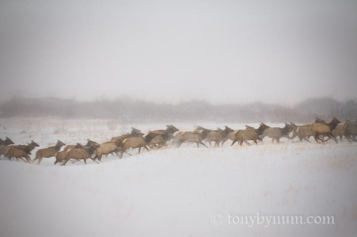 elk herd running though snow
